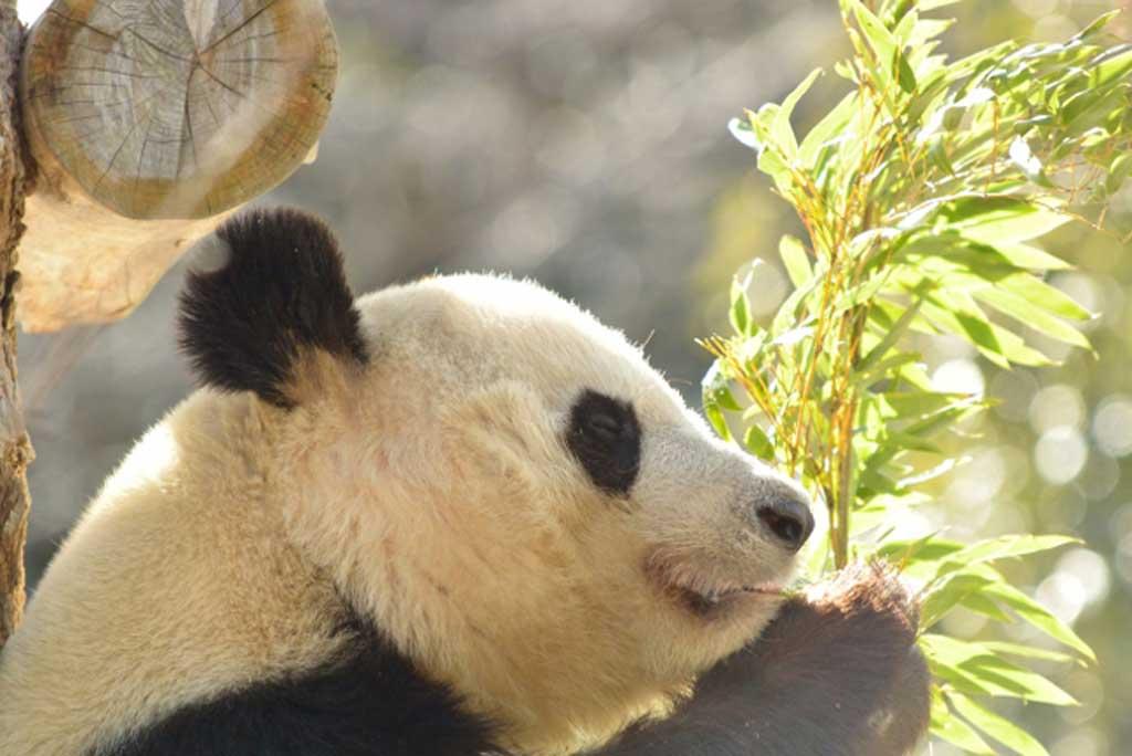 新パンダのシャンシャン(香香)の観覧が大人気!【上野動物園】